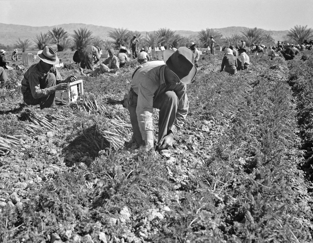 Dorothea Lange - Carrot pullers from Texas, Oklahoma, Misso