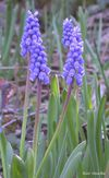 Muscari botryoides id rec 3