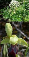 flore de la mouche