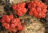 nectria_champignon.jpg