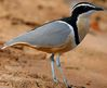 pluvian pluvier Egypte charadriiforme