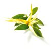 ylang.jpg