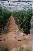 Tomates-en-terre.jpg