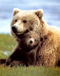montana grizzly with cub all