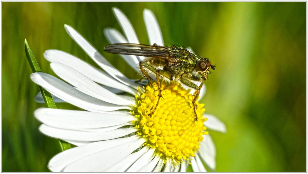 Mouche Scatophage 006