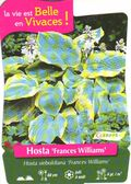 Hosta-Frances-Williams.jpg