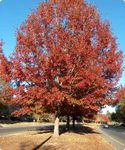 NEW JERSEY Northern red oak