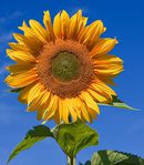 KANSAS sunflower-1