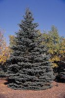 COLORADO -Picea pungens tree
