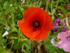 Poppy in the Gainsbourg garden - 9 CM