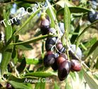 olives terre2crete pour logo-copie-1