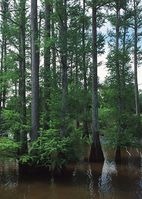 LOUISIANNE-Taxodium distichum NRCSMS01010