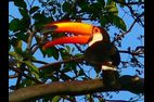 rurrenabaque-pampa-toucan.jpg
