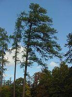 ARKANSAS-Pinus taeda
