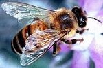 Gmo crops and the decline of bee colonies
