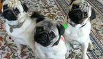 4 videos amusantes et insolites avec des chiens