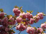 Sakura no hana, la fleur du cerisier japonais