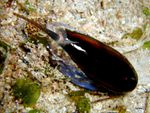 Voyage-plongée: Oliva irisans, Olive luisante des Philippines