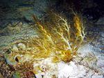Dîner du dimanche, vidéo: Holothurie lèche-doigts Neothyonidium magnum