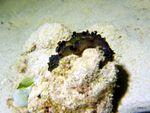 Voyage-plongée: Ver plat, JR, les 2 Poissons-grenouilles jaunes