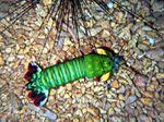 Voyage-plongée: Squille-mante multicolore, Odontodactylus scyllarus
