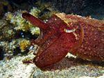 Voyage-plongée: Sepia aculeata, clin d'oeil aux matelots