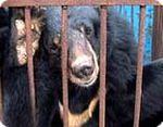Trafic de bile d'ours : un commerce très lucratif qui menace les ours à collier