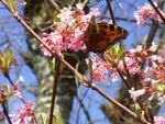 Printemps Nature 2 papillons
