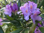 J'aime les rhododendrons !