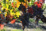 Quand les satellites font les vendanges : l'agriculture de précision appliquée à la vigne
