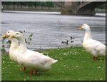 Les oies de Visé protégées par une IGP ?