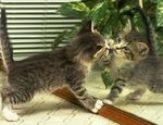 Le chaton et le miroir/Cute Kitten and Mirror (video)