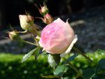 Les couleurs de la fête des roses à Cimiez (Nice)
