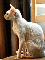 White Cornish Rex wikipedia