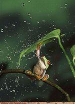 grenouille pluie