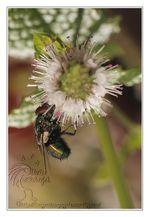Insectes Mouche © Olivier Roberjot 03