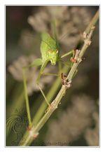 Insectes Sauterelle © Olivier Roberjot 01
