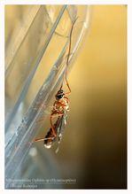 Hyménoptère, Ichneumonidae Ophion sp © Olivier -copie-2