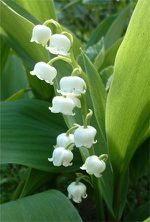 MUGUET-PS-copie-1.jpg