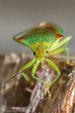 Acanthosoma haemorrhoidale © Olivier Roberjot 1180