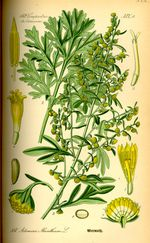 armoise_absinthe_025_-planche_d-identification_thome-.jpg