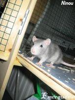 Photo Rat, Ninou - 08.06.11