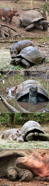 Bebe-Hippo-et-tortue.jpg