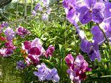 05 Chiang Mai - Ferme d'orchidées 12