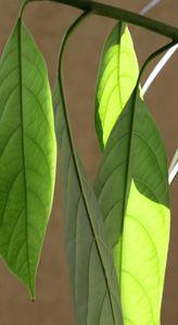 Avocat-en-feuilles--3----Copie.JPG