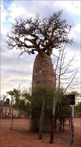 baobab Mangily 4-copie-1