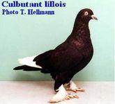 Culbutant Lillois photo T.HELLMANN