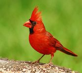 ohio state bird northern cardinal