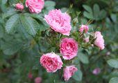 rosier grootendorst