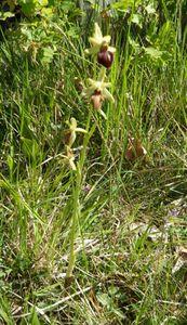ophrys-araignee.jpg